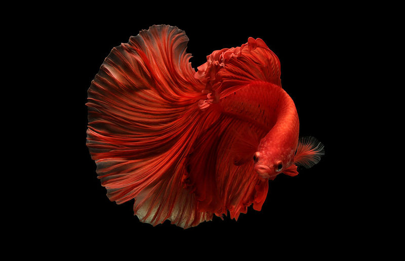 Close-up of siamese fighting fish against black background