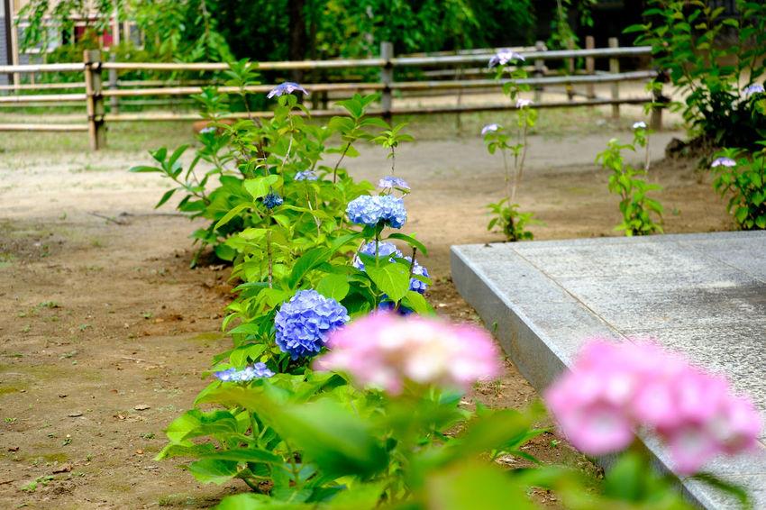 紫陽花 Flower Flowers Flowers,Plants & Garden Fujifilm Fujifilm X-E2 Fujifilm_xseries Hydrangea Japan Japan Photography Xc50230 あじさい 市川 手児奈霊神堂 紫陽花 紫陽花-hydrangea-