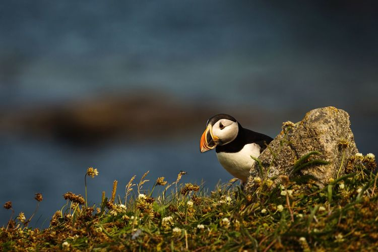 Close-up of puffin perching on rock