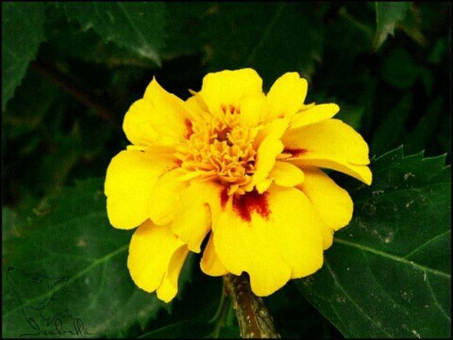 цветок  оранжевый бархатцы Природа