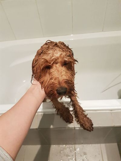 EyeEm Selects Dog Domestic Bathroom Washing Hygiene Pets Bathroom Domestic Room Human Body Part Animal Indoors  Human Hand Taking A Bath Cleaning Water Shampoo One Animal One Person Shower Lifestyles Children Only