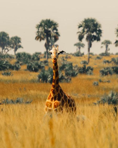 Portrait of giraffe on grassy field
