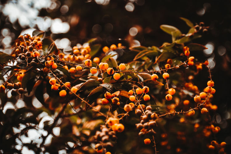 Close-up of berries growing on tree. warm autumn colours