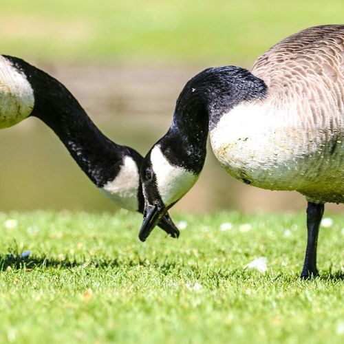 Goose eye is it anyway! Grass Animal Wildlife Bird Animals In The Wild No People Outdoors Nature Day Animal Themes Close-up Merged Beauty In Nature Nature_collection Nature Nature Photography Naturelovers Natures Diversities Joined Beaks Eating Geese Standing Waterfowl