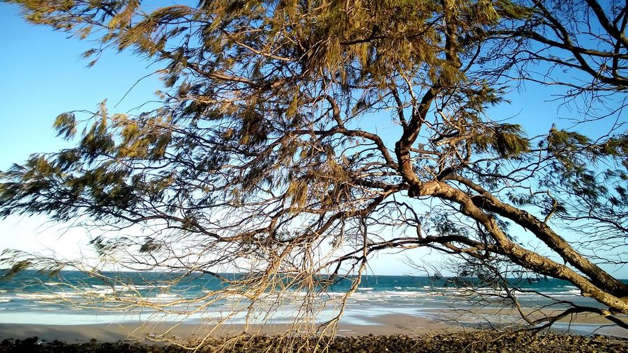 The beautiful coastal She Oak tree that lines the Queensland Coastal beaches Beach Beach Front Beauty In Nature Blue Sky Branch Coastal She Oak Landscape Low Angle View Nature Outdoors Outdoors Tranquil Scene Tranquility Tree Tree On Beach Tree Trunk Waves