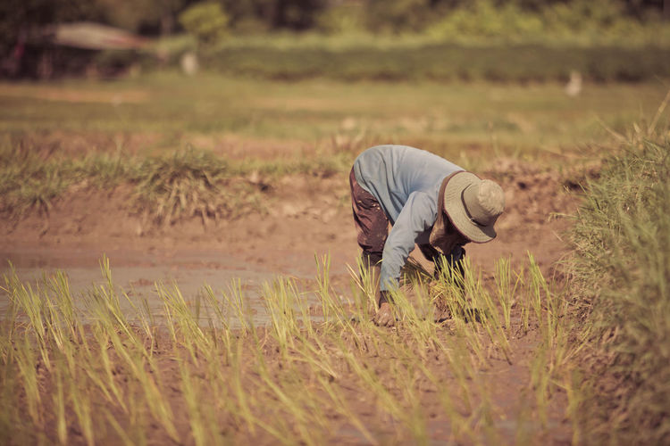 Farmer is planting rice in rice fields.