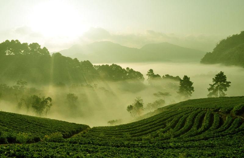 Tea plantation in the mist of morning