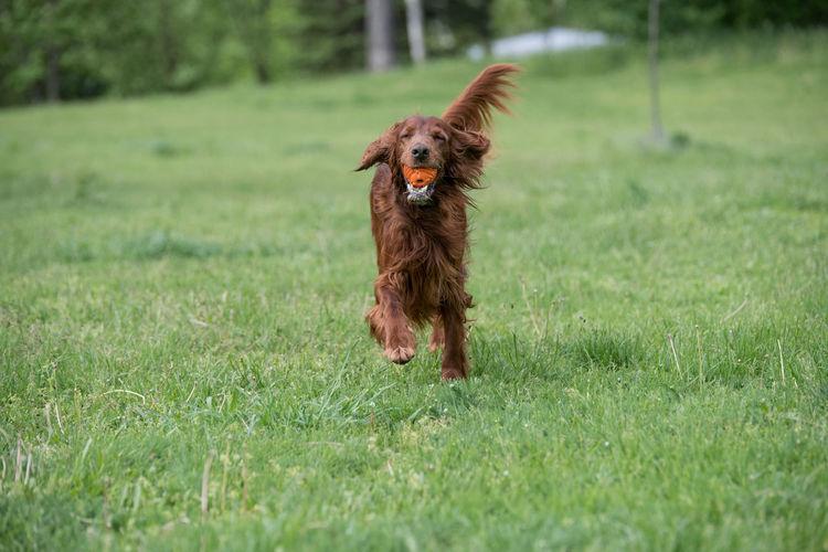 Irish setter running on grassy field