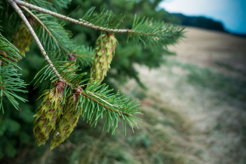 Beauty In Nature Branch Close-up Coniferous Tree Day Fir Tree Focus On Foreground Freshness Green Color Growth Leaf Nature Needle - Plant Part No People Outdoors Pine Tree Plant Plant Part Selective Focus Tranquility Tree