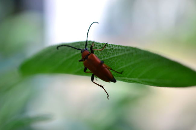 Animal Themes Animal Wildlife Animals In The Wild Beauty In Nature Beetle Beetle Collection Beetle Insect Nature Close-up Day Focus On Foreground Green Color In My Garden... Insect Leaf Leave Nature Nature_collection No People One Animal Outdoors