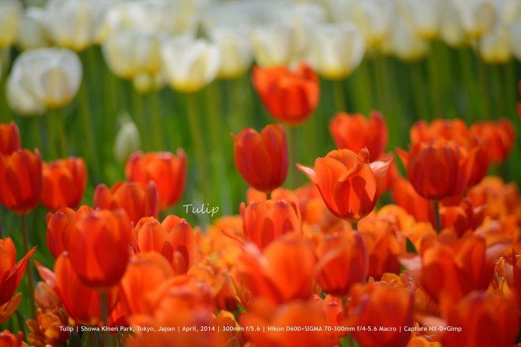 Tulip - Showa Kinen Park, Tokyo, Japan | April, 2014 | 300mm f/5.6 | Nikon D600+SIGMA 70-300mm f/4-5.6 Macro | Capture NX-D+Gimp Flower Flowers Japan Tulips