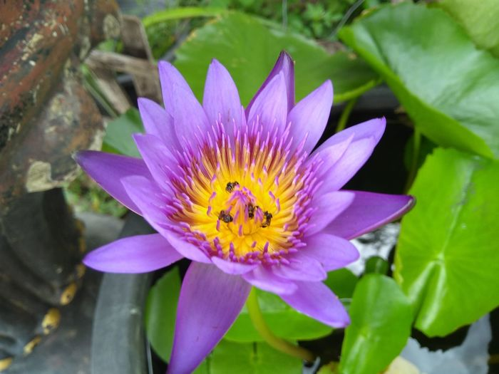 Close-up of purple lotus water lily