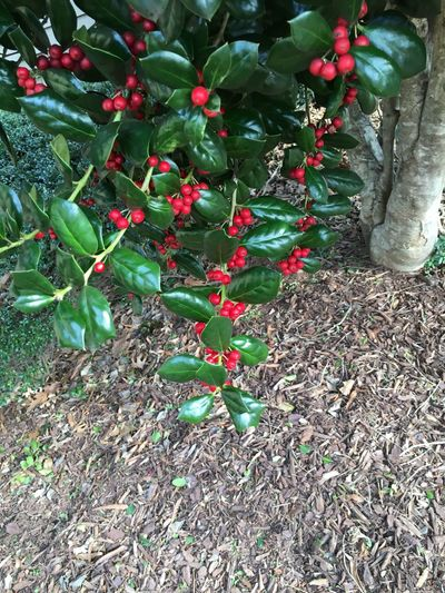 Outdoors Plant Beauty In Nature Holly Hollybush Prickly 2015  Iphonephotography IPhoneography Yeahthatgreenville Portfolios Itsbeenawhile Art MyPhotography Carolinas Southcarolinapictures Home Is Where The Art Is Landscape Mulch Nature Freshness High Angle View Leaf Red Day