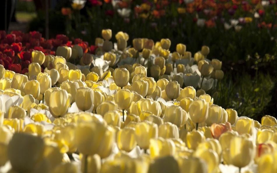 Abundance Beauty In Nature Colorfull EyeEm Nature Lover Flower Collection Flower Head Flowers Flowers,Plants & Garden Garden Nature Petal Pralormo Springtime Tulip Yellow