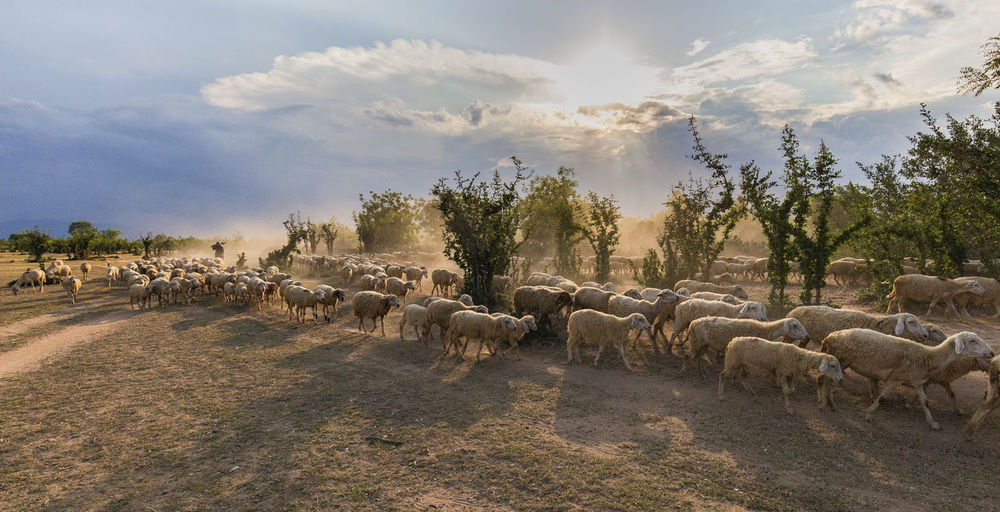 sheep go to Cage Cloud - Sky Day Domestic Domestic Animals Large Group Of Animals Mammal Sheep Sky
