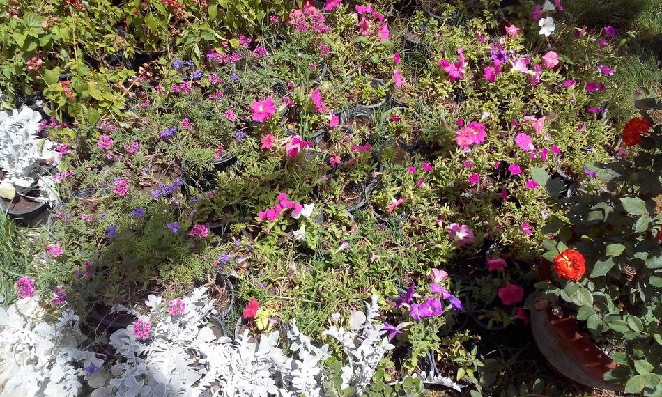 Nature Egypt Flowers Freshness Green Ormanpark Pink Flowers