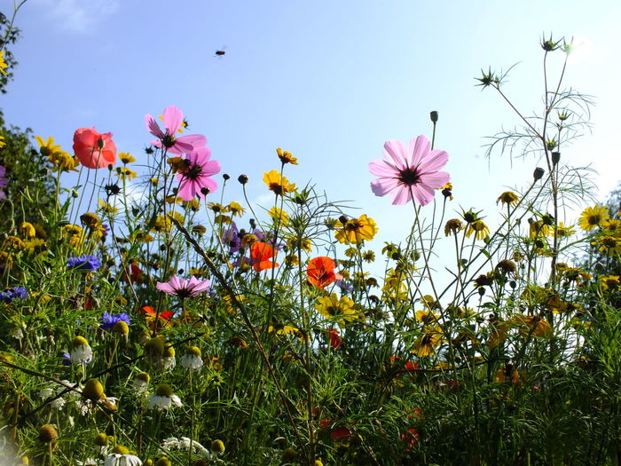 Close-up of cosmos flowers blooming on field against clear sky