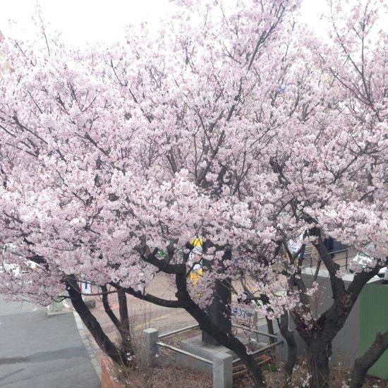 Sakura 2016 2017 Cherry Blossoms Flower Japan Sakura SP Spring