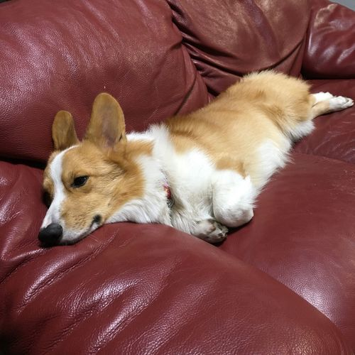 Boring Sleepy Dog Corgi Sofa Couch Relaxation Red Bring Me A Fun