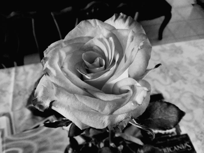 Rosa🌹 Rose🌹 Roses Black&white Perfect Day Precision B&w Blackandwhite