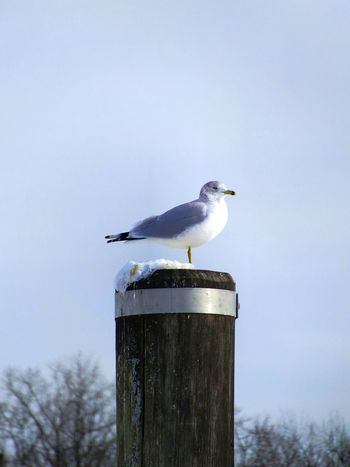 Seagull on a post in winter.. with Snow on the post. Animal Themes Avian Beauty In Nature Bird Bird Photography Birds Of EyeEm  Birds_collection Blue Blue Sky Day Focus On Foreground Nature No People Outdoors Perched Perching Sea Bird Seagull Seagulls Sky Snow Wildlife Winter Winter Trees Wooden Post