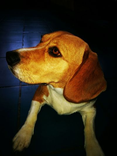 Dog Beagle Picoftheday