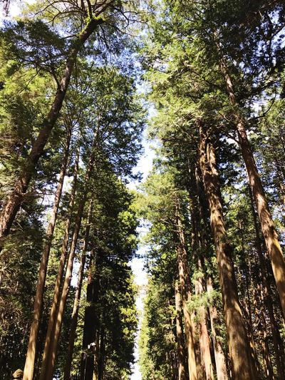 Tree Nature Tree Trunk Low Angle View Forest Growth Day Beauty In Nature Outdoors No People WoodLand Scenics Green Color Tranquility Branch Sky Japan Japan Photography JapanLife