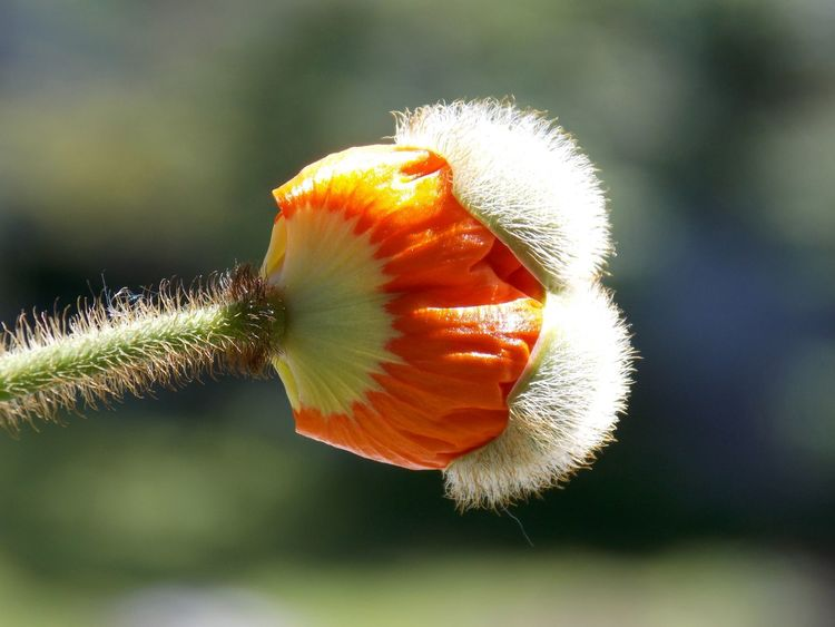 Poppy Buds Flowers, Nature And Beauty Details Of Nature Macro Photography Naturelover