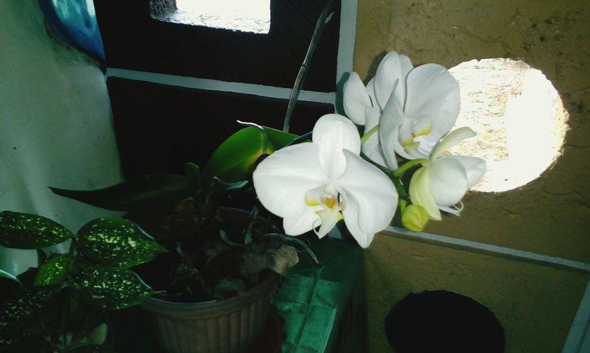 White Anggrek FlowerTanaman Hias Flower White Color Plant Growth Nature Leaf Flower Head