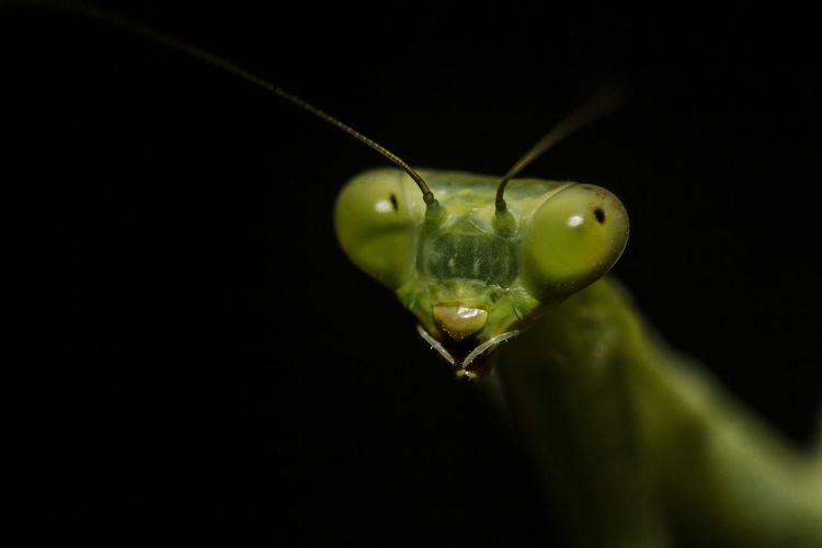 Close-up of praying mantis against black background