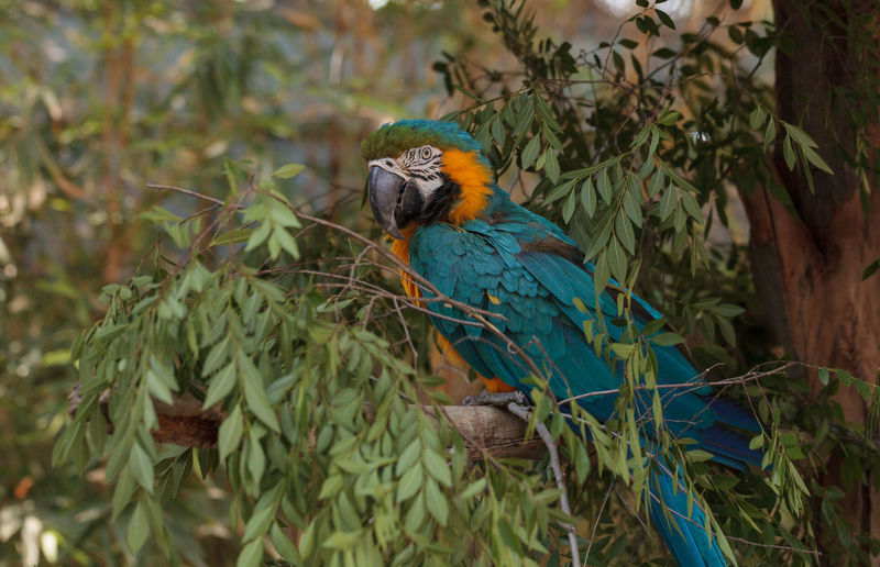 Gold And Blue Macaw Perching On Branch