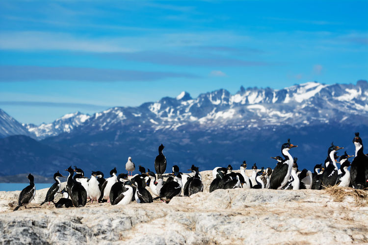 King cormorants on small island of beagle channel
