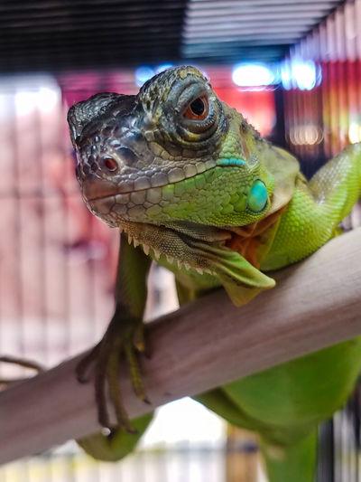 Iguanation Bokeh Bokeh Photography Mobilephotography Mobile Photography Lgv30+ Lg V30+ LGV30photography Reptile Iguana Portrait Close-up