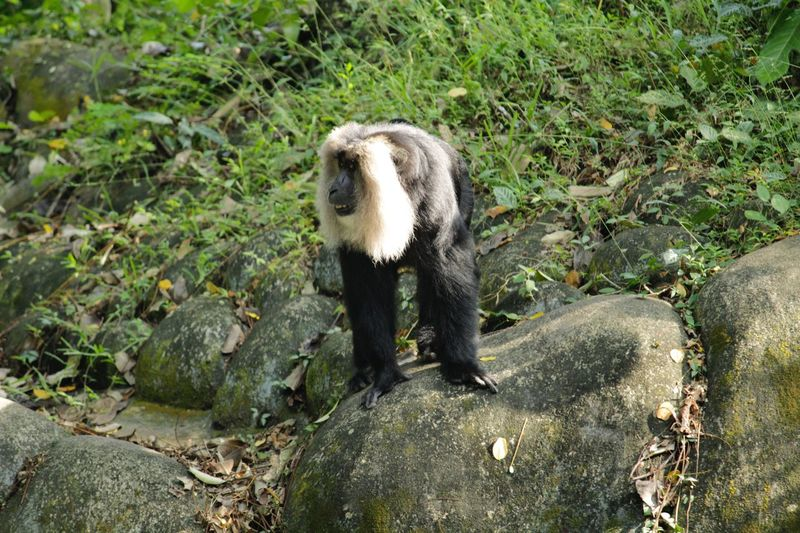 Lion-tailed