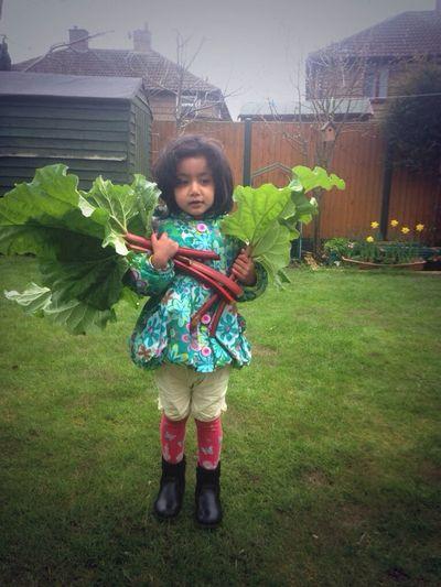 Picking Rhubarb from Garden
