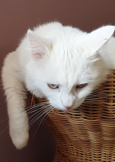 Domestic Cat One Animal Domestic Animals EyeEm Selects Firsteyeemphoto☺ Artphoto Artphotography EyeEm Gallery EyeEm Best Shots Catlover Cats 🐱 Cats Of EyeEm Cat♡ Portrait Pets White Cat felin Eyeemphoto Feline Companions
