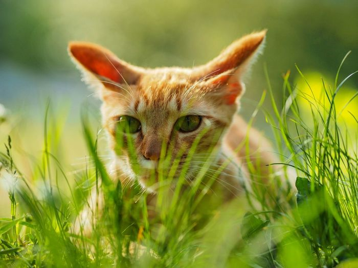 Close-Up Of Cat Lying On Grassy Field