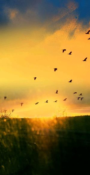 sunset Animals In The Wild Flock Of Birds Large Group Of Animals Mid-air Animal Wildlife Nature Day Scenics Animal Themes Silhouette