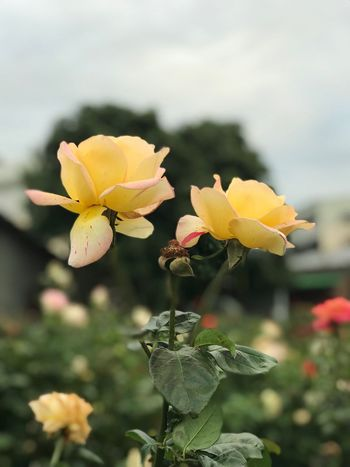 Joy of Friendship Taiwan Garden Leaves Nature Yellow Rose Roses Yellow Flower Petal Plant Nature Growth Beauty In Nature Yellow Blooming Outdoors Day No People Close-up Leaf Freshness