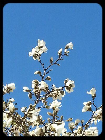 Magnolia Tree Spring Frühling Bäume