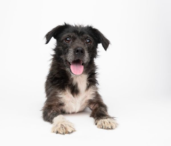 Pets Domestic Animals Domestic One Animal Mammal Animal Themes Canine Dog Animal Vertebrate White Background Studio Shot Sticking Out Tongue Portrait Looking At Camera Indoors  No People Facial Expression