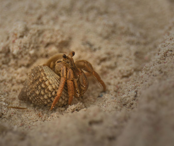 Bringing his home home with him Mexico Xpu-ha Animal Animal Themes Animal Wildlife Animals In The Wild Beach Close-up Crab Crustacean Day Hermit Crab Land Marine Nature No People One Animal Outdoors Sand Sea Sea Life Selective Focus