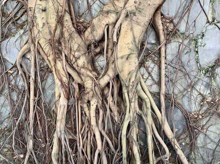 Tree Plant Root