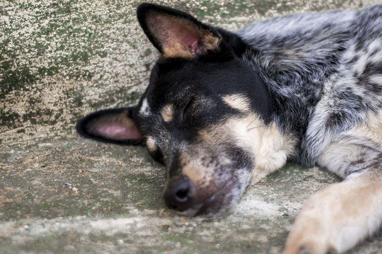 Dog One Animal Dog Canine Animal Themes Mammal Domestic Animal Domestic Animals Pets Relaxation Vertebrate Close-up Lying Down Animal Body Part No People Animal Head  Day Sleeping Selective Focus Resting