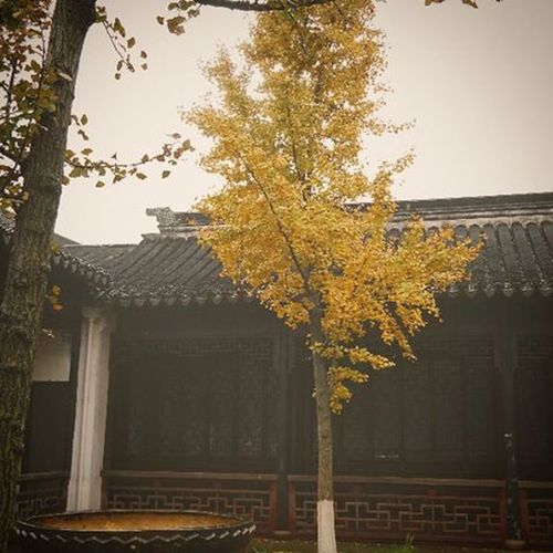 When the leaves turn gold and the winds start to blow, life is about to take a rest...Tongli Watertown Traveling Trees Oldbuildings Ancient Autumnleaves Fallseason Fall Autumn Nature Chinaadventures China Chinesebuildings Garden Goldleaves