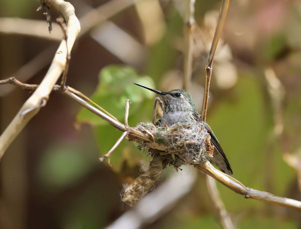 Anna's Hummingbird Nesting Animal Themes Animal Wildlife Animals In The Wild Birds Close-up Day Hummingbirds Mother To Be Nature Nest Building No People One Animal Outdoors