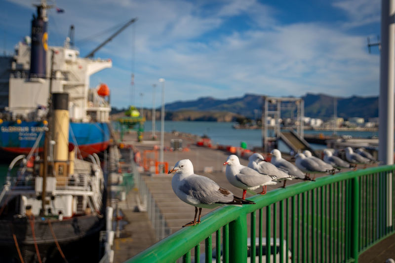 Seagulls perch on a railing watching the ships and people below on the wharves at the seaside port Lyttelton Port Seagulls Wharve Bay Bird Built Structure Day Dock Focus On Foreground Nature Nautical Vessel No People Outdoors Perching Railing Sea Seagull Seaside Sky Transportation Vertebrate Water