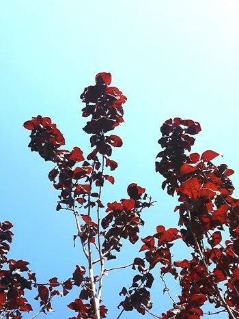 redish leaves against celest sky Contrast Fresh And Brighty Branch Red Hobby Travel Tree Clear Sky Sky Plant Representing Growing Fragility Plant Life Leaf Vein