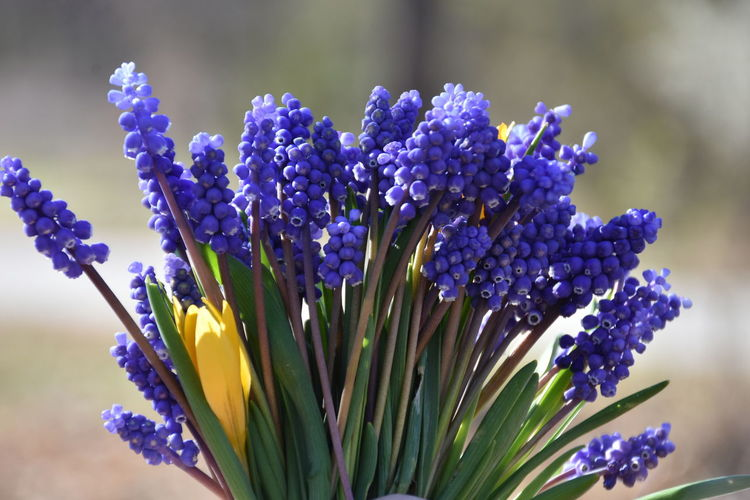 Flower Flowering Plant Purple Vulnerability  Freshness Beauty In Nature Fragility Close-up Plant Growth Nature Petal Inflorescence Flower Head Blue No People Selective Focus Day Hyacinth Focus On Foreground Bunch Of Flowers Flower Arrangement Bouquet