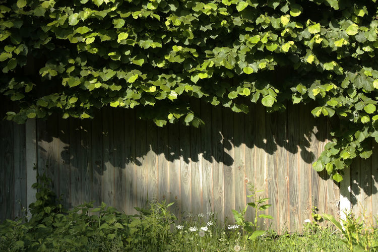 Plant Beauty In Nature Border Fence Built Structure Creepy Day Fence Freshness Front Or Back Yard Grass Green Green Color Greenery Growth Leaf Leaves Nature Outdoors Plant Plant Part Positive Emotion Summer Sunlight Tree Wood Slats